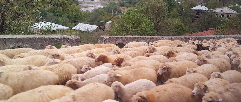 Овцы на дорогах Грузии